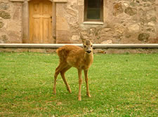 Deer from nearby forest, adopted by Gandzasar's clergy as pets.